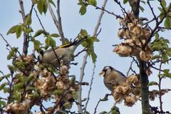 Chardonnerets lgants (Carduelis carduelis) (Le No) Tags: bird 31 oiseau cardueliscarduelis europeangoldfinch hautegaronne stlon chardonneretlgant fringillids passriformes mai2009