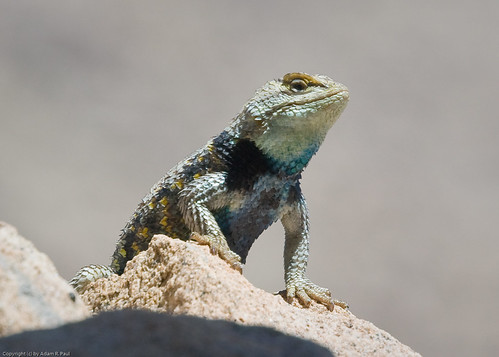 Desert Spiny Lizard by you.