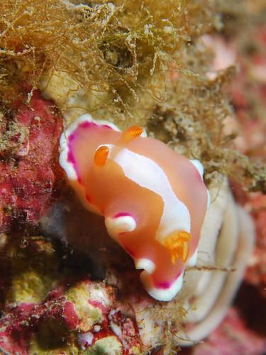 霜淇淋海蛞蝓生蛋中