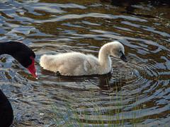 Black Swan (boombana) Tags: swan sydney cygnet 2009 blackswan cygnusatratus centennialpark australianbirds cygnus