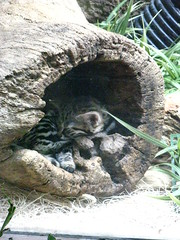 Black-footed cat sleeping