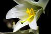 Reproducción (jvet) Tags: flor polen lilium azucena petalos gineceo corola martagon androceo jvet liriodesanantonio