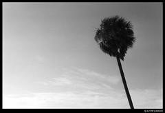 Monarch (alton.tw) Tags: ocean sea sky blackandwhite bw plant tree film beach backlight clouds tampa bay coast flora 2000 florida kodak shoreline palm atlantic shore tropical westcoast seashore alton tropics altonthompson seacoast sabalpalm