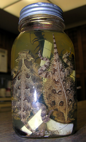 BONELUST - Dad's Pickled Jar of Texas Creatures from 1950: Texas Horned Lizards, Giant Centipede, Lizard or Skink