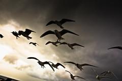 IMG_0593 (Spieler Family) Tags: vögel möwen boltenhagen mwen vgel