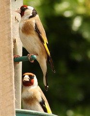 Two goldfinch (Kate for a change) Tags: far ings