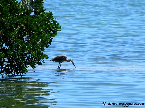 IMG_0672-Sanibel-Tarpon-Bay-reddish-egret