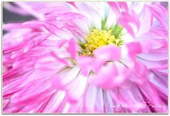 English Daisy (Tracey Tilson Photography) Tags: pink plant flower macro green english nature yellow closeup garden 50mm nc nikon natural pastel north micro tuesday carolina daisy bloom nikkor picnik perennial raynox d90