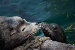 Two Sea Lions nose-to-nose on the dock by Giovanni's Fish Market, in Morro Bay, CA., 10 June 2009 (mikebaird) Tags: california sea fish ted electric bay pier dock market postcard lion winner getty montanadeoro sealions sealion morro gettyimages dorian nosetonose giovannis droh dailyrayofhope bairdphotoscom michaellbaird lionelectric tedmorro 10june2009 electricted mdopostcard