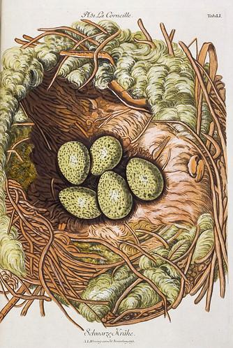 008-Nido de la Corneja-Colección de nidos de aves 1772