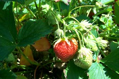 spring 09 pics 017 (dadootdoots) Tags: spring strawberries farms organic