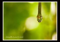 droplet (juliusluna) Tags: flower water leaves droplets nikon manila droplet filipino pinoy nikond90