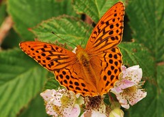"Silver-Washed Fritillary (Argynnis paphia) Feeding On Bramble Flowers (Paul ""Razor"" Ritchie) Tags: flower macro nature animals nikon blossom wildlife butterflies insects hampshire lepidoptera explore pollen newforest briar arthropoda fluttering bramble invertebrates rubus d60 insecta sigma105mmmacro nymphalidae argynnispaphia silverwashedfritillary fruticosus vanessid macrolife june2009 paulritchie vosplusbellesphotos thelizardwizard"