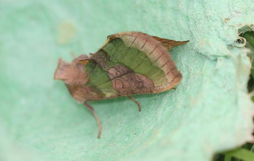 Burnished Burnished Brass (Diachrysia chrysitis f. juncta)