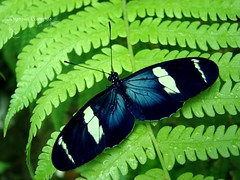 Gratitude (Kryssia  ) Tags: plant verde green planta helecho butterfly bug insect wings costarica dancing images queen borboleta alas getty mariposa farfalla gettyimages insecto feto kelebek lpdelicate