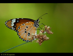 The Plain Tiger (Masood Hussain) Tags: butterfly nikon plaintiger indianbutterflies africanmonarch d300s