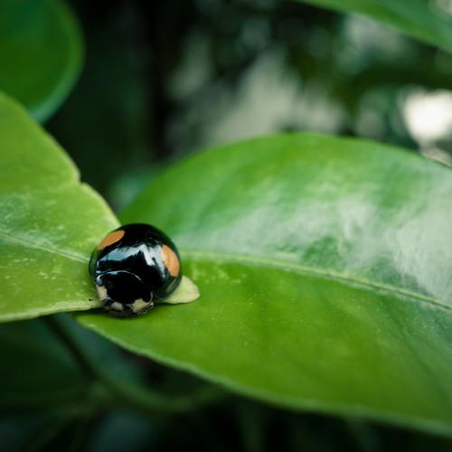 Ladybug in My Garden