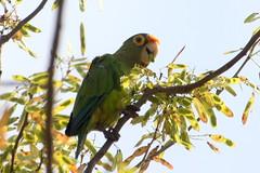 Red-lored Parrot (rainerwonisch) Tags: costarica parrot