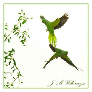 PB281494ts - Rose-ringed parakeet