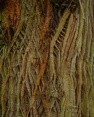 Alien Evolution (Porgyfish) Tags: park uk trees england tree nature nikon estate natural alien gothic cotswolds gloucestershire bark coolpix centipede bathurst cirencester centipedes lothlorien p6000 nikonp6000 porgyfish