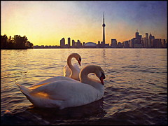 Swan Pair and Skyline (Now and Here) Tags: sunset lake toronto ontario canada texture water skyline fb pair sony swans alpha dslr partners centreisland a300 fave5 fave10 sonydslra300 nowandhere davidfarrant