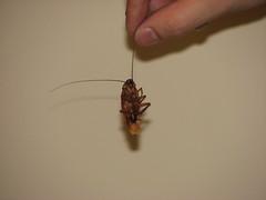 IMG_4633 (lightatmywindow) Tags: hand roach cucaracha beigewall