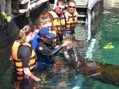 manatee training (ABC Dolphin Trainer Academy) Tags: manatee animaltraining positivereinforcement entrenamientodeanimales refuerzopositiva operantconditioing