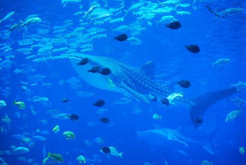 GA_Aq_Whale_Shark[2009]