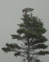 08 09 07_3211Short eared Owl Regurgitating (Mark R. Tsang) Tags: owl shortearedowl newfoundlandandlabrador predetors markrtsang markincb markrtsangphotography copyrightmarkrtsang nottobeusedorcopiedwithoutmypermission