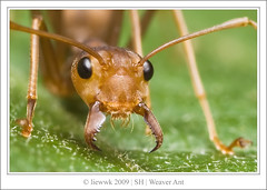 10.9 Weaver Ant ... I don;t think you want to come close!... (liewwk - www.liewwkphoto.com) Tags: park wild brown plant macro building green eye nature animal closeup fauna bug garden insect flora nest outdoor wildlife acid leg wing springhill foliage ants hunter prey colourful wilderness weaver predator winged antenna hymenoptera formicidae oecophylla formic