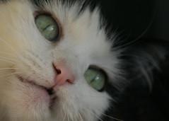 1/5 (photocatt) Tags: cats cat feline gatos tuxedo gato felines ragdoll bicolor missmoon