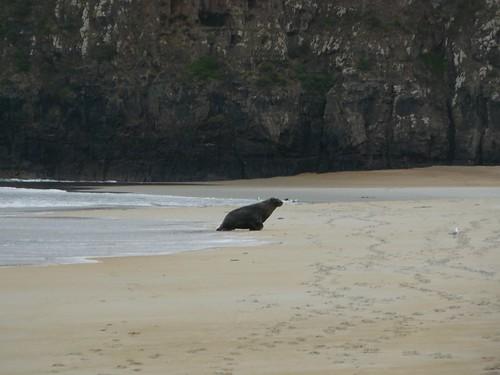 Lion de mer Sand Beach Nouvelle Zelande #10