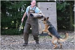 Schäferhund_Schutzhund