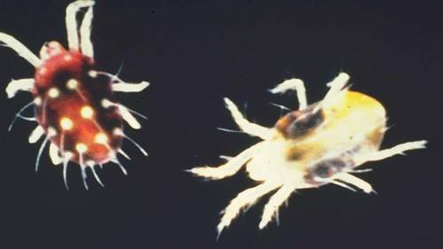 spidermitepeg.jpg