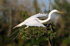 Great Egret (Shadow Hunter) Tags: nikon 300mm nikkor f4 afs 300mmf4d