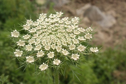 queen anne's lace2