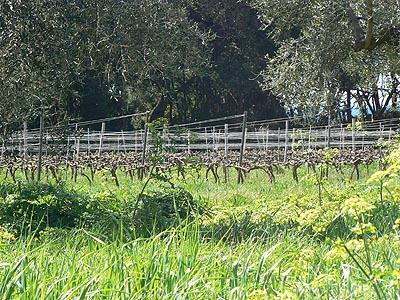 vignes et oliviers.jpg