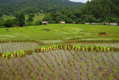 Doi Inthanon, Karen people, rice growing, terraces (pierre pouliquin) Tags: people thailand village rice terrace terrasse picasa karen chiangmai tribe riz 08 arroz hilltribe doiinthanon karenvillage เชียงใหม่ ราชอาณาจักรไทย 18200mmvr ดอยอินทนนท์ d80 doiinthanonnp karenpeople earthasia worldtrekker doiin ดอยอินทนนท karenvillage1doiin