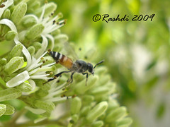 DSC03792 (Rashdi) Tags: pakistan bug sony bee honey karachi rashdi dscw55