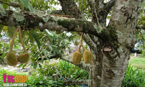 Durian trees grow in Lim Chu Kang cemetery