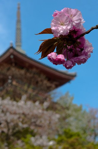 Cherry blossom at Kiyomizudera temple (UNESCO world heritage site)