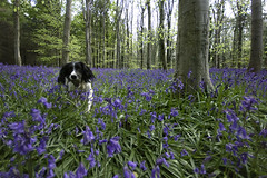 can't get blue monday out of my head (jessthespringer) Tags: ireland dog bluebells forest jess englishspringerspaniel warrenpoint bigwood bluemonday thelittledoglaughed jessthespringer
