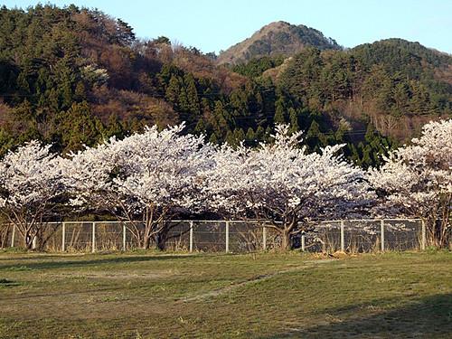 桑川小学校の桜と山々~笹川流れ