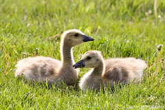 Looking Out For Each Other (James Marvin Phelps) Tags: nature photography geese michigan wildlife gosling mandj98 avianexcellence jmpphotography jamesmarvinphelps riverviewmichigan youngpatriotspark