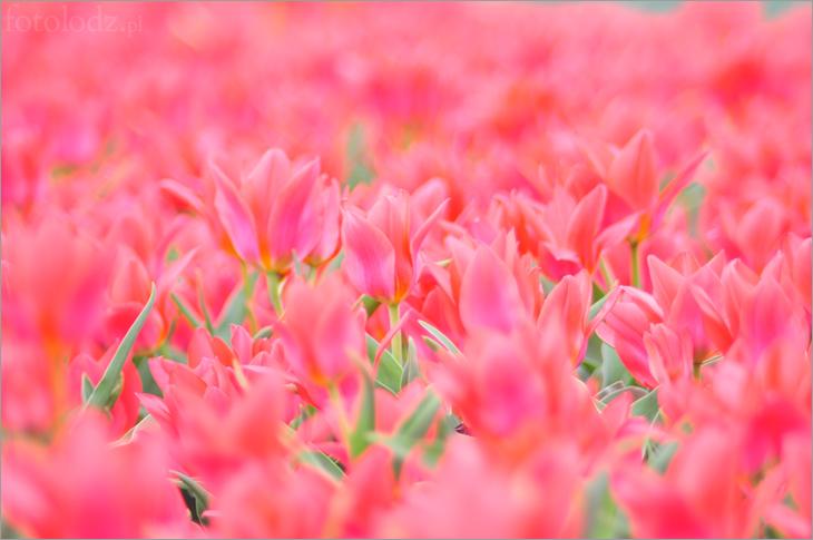 Tulipany w łódzkim Botaniku