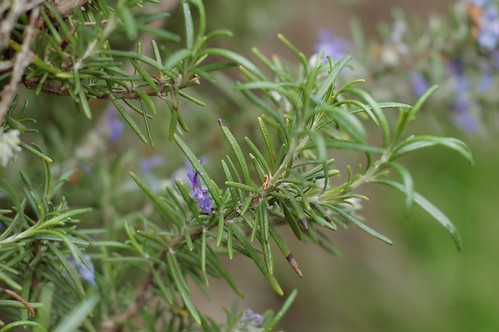 Rosemary - winter growth