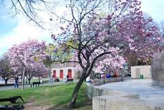 Magnolia Blossom (Thea Prum) Tags: charlesriverpark charlesriver hatchshell bostoncity magnoliablossom cherryblossom weepingwillow cambridge nikon d80 1870mm f3556