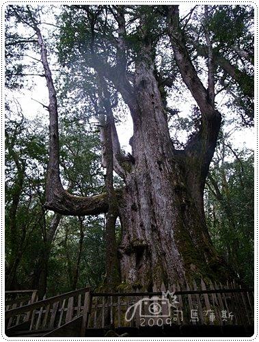 司馬庫斯巨木 (15)