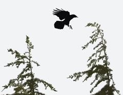 Haiga = Haiku + Image (Yip 122) (Gamma Infinity) Tags: haiku landing crow posterized hicon haiga 2009yip crowwhores backtogoodold200mm yip122