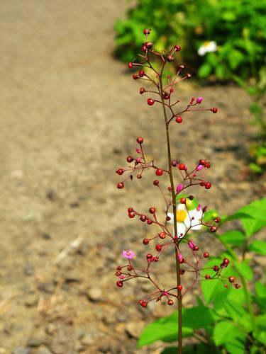 不知名的紅小花